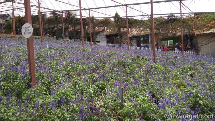 Ladang bunga lavender di Lavender Farm Cameron